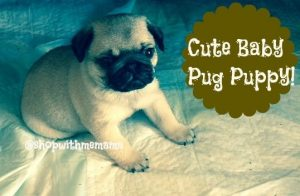 pictures of baby pug puppies