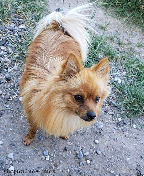 Daisy the Pomeranian