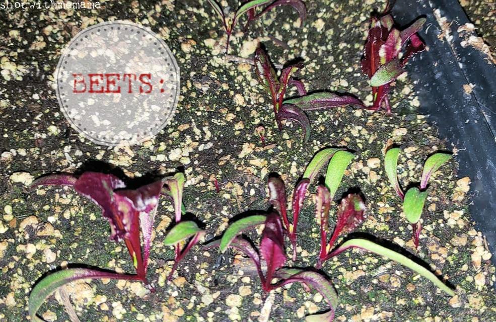 beet plants